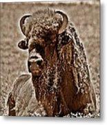Napping Bison Metal Print