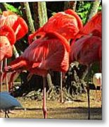 Napping Flamingoes Metal Print