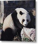 National Zoo Panda Metal Print