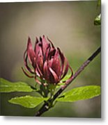 Native Sweetshrub Metal Print