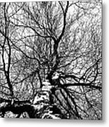 Neighbours Birch ... Metal Print