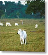 Nelore Beef Cattle Metal Print