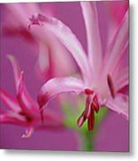 Nerine Flowers Metal Print