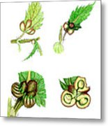 Nettle Leaf Galls Metal Print by Dr Keith Wheeler