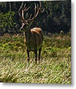 New Zealand Elk Metal Print