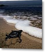 Newly Hatched Leatherback Turtle Metal Print