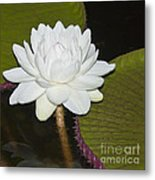 Nocturnal Blossom Of Victoria Lily Metal Print