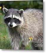 North American Raccoon Metal Print