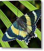 North Queensland Day Moth Alcides Metal Print