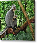North Sumatran Leaf Monkey Presbytis Metal Print