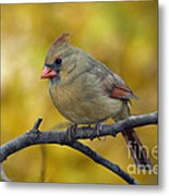 Northern Cardinal Female - D007849-1 Metal Print by Daniel Dempster