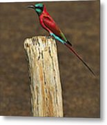 Northern Carmine Bee-eater Metal Print
