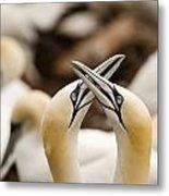 Northern Gannets Morus Bassanus Rubbing Metal Print