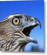 Northern Goshawk With Open Beak Metal Print