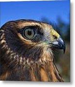 Northern Harrier Raptor In Profile Metal Print