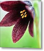 Northern Rice Root Fritillaria Metal Print