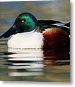 Northern Shoveler Anas Clypeata Male Metal Print