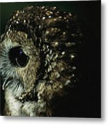 Northern Spotted Owl Strix Occidentalis Metal Print