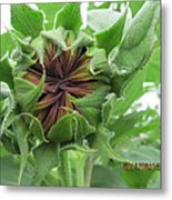 Not Quite A Sunflower Yet Metal Print