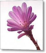 Notocactus Herderii Flower Metal Print