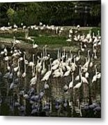 Number Of Flamingoes Inside The Jurong Bird Park In Singapore Metal Print