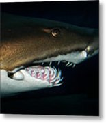 Nurse Shark Metal Print