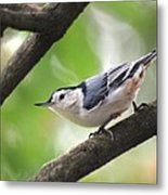 Nuthatch Metal Print