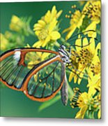 Nymphalid Butterfly Pteronymia Sp Metal Print