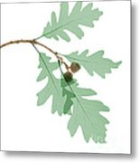 Oak Leaves, X-ray Metal Print