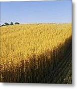 Oat Crops On A Landscape, County Dawn Metal Print