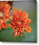 October Mums Metal Print by Darren Fisher