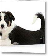 Odd-eyed Border Collie Pup Metal Print