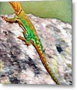Oklahoma Collared Lizard Metal Print by Jeff Kolker