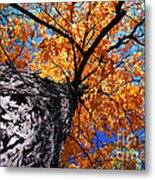 Old Elm Tree In The Fall Metal Print