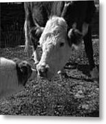 Old Fashioned Cow Dog Doing Its Job Metal Print