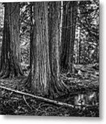 Old Growth Cedar Trees - Montana Metal Print