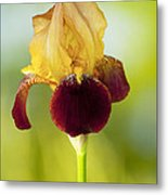 Old Time Two Toned Burgundy And Gold Iris Metal Print