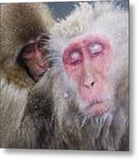 Older Snow Monkey Being Groomed By A Metal Print