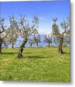 olive grove on Lake Gardan Metal Print