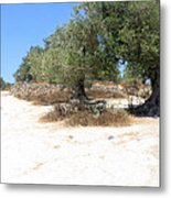 Olive Trees In Samaria Metal Print