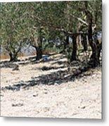 Olive Trees In Sebastia Nablus Metal Print