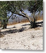 Olive Trees Standing Alone Metal Print