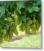 On The Vine - Before The Wine Metal Print