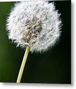 One Dandelion Flower Isolated  Metal Print