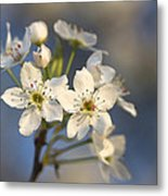 One Fine Morning In Bradford Pear Blossoms Metal Print
