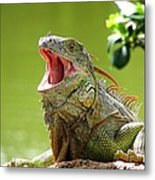 Open Mouth Iguana Metal Print