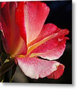Open Rose After The Rain Metal Print