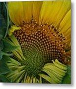 Opening Sunflower Metal Print