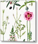 Opium Poppy And Other Plants  Metal Print by  Elizabeth Rice