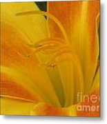 Orange And Gold Day Lillies. Metal Print